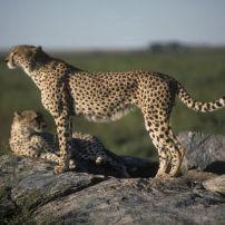 Cheetahs - Masai Mara, Kenya