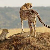 Cheetahs, Masai Mara National Reserve safari, Masai Mara, Kenya
