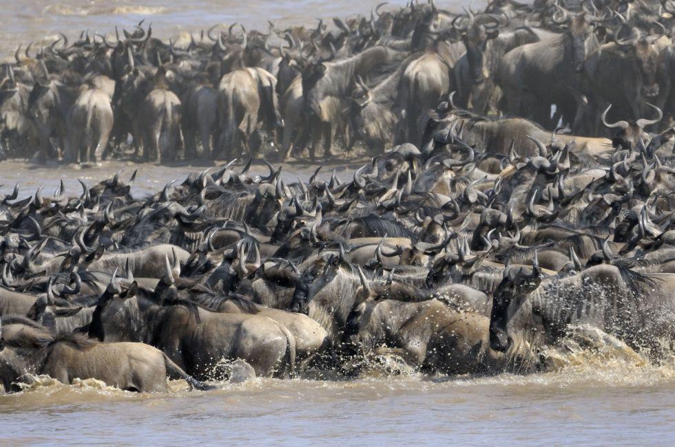 Wildebeest, Mara River, Masai Mara, Kenya