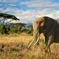 Elephant, Amboseli National Reserve, Kenya