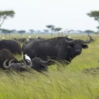 Cape Buffalo, Tsavo National park, Kenya