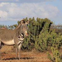 Zebra, Laikipia Plateau, Kenya