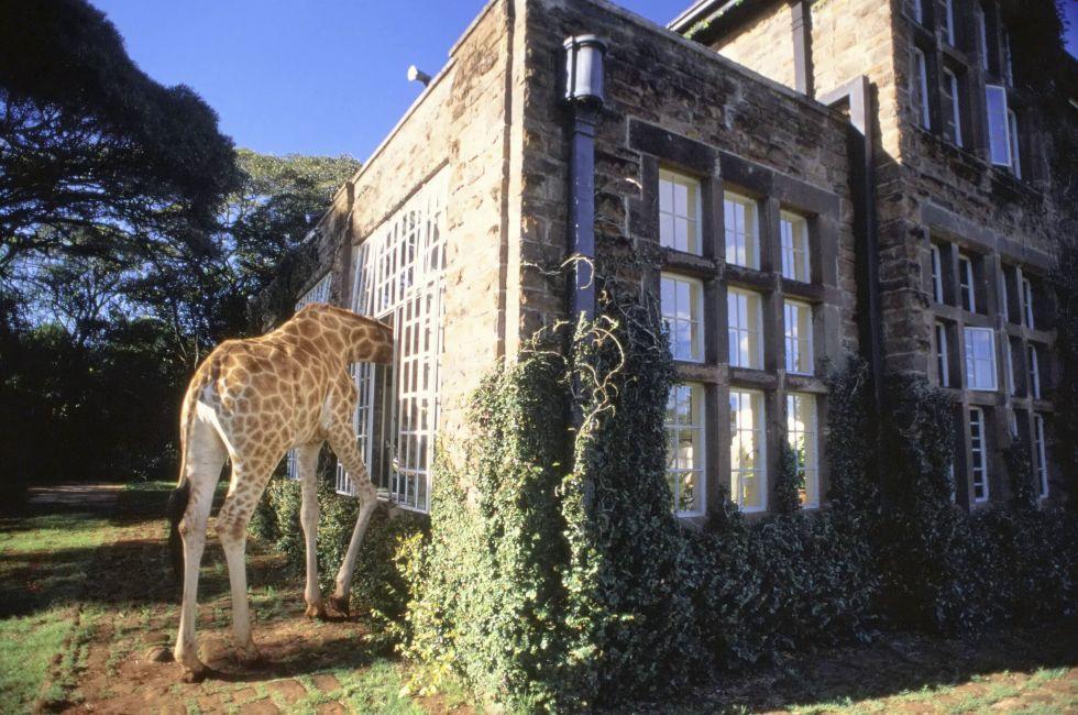 Giraffe, Giraffe Manor, Nairobie, Kenya