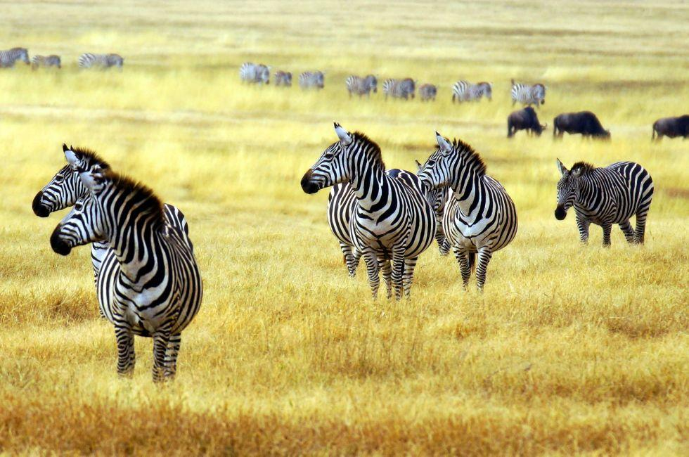 Zebra, Meru National Park, Kenya