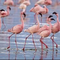 Lesser Flamingos, Lake Nakuru, National Park, Kenya