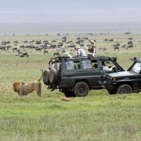 Lion, Zebra, Wildebeest, Safari, Tanzania