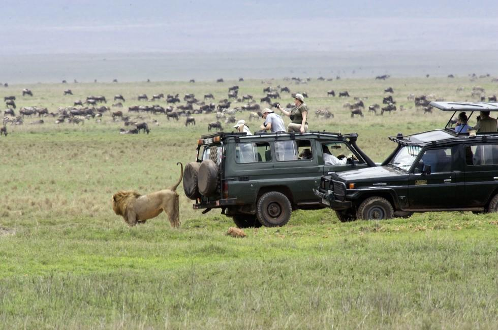 Lion, Zebra, Wildebeest, Safari, Tanzania