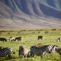 Zebra, Tanzania, Africa