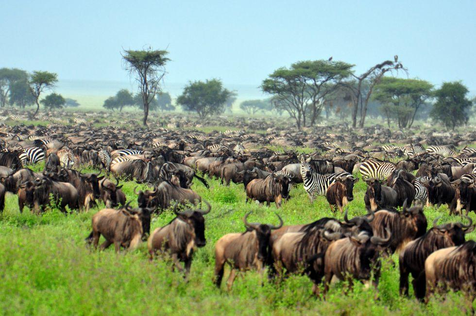 Wildebeest, The Great Migration, Serengeti National Park, Tanzania, Africa