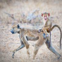 Baboon, Savannah, Selous Game Reserve, Tanzania