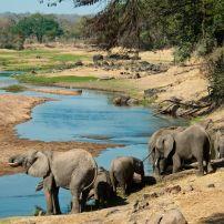 Elephants, Great Ruaha River, Ruaha National Park, Tanzania