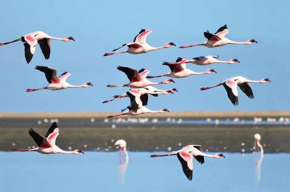 Lesser Flamingo, Wetlands, Walvis Bay, Namibia