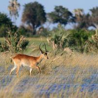 Lechwe, Okavango Delta, Botswana, Africa