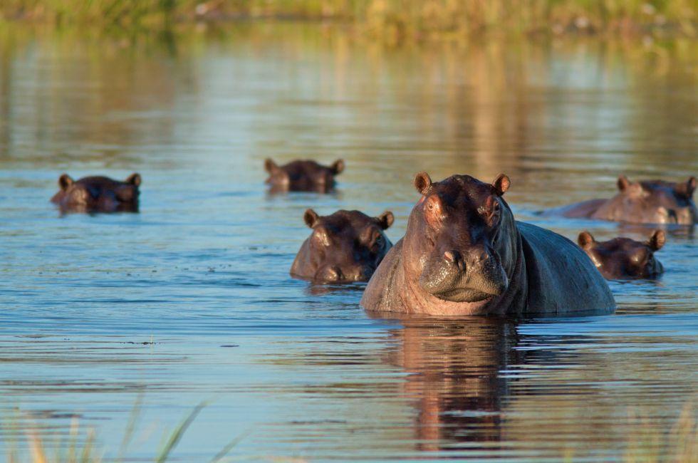 Hippopotamuses, Moremi Wildlife Reserve, Botswana
