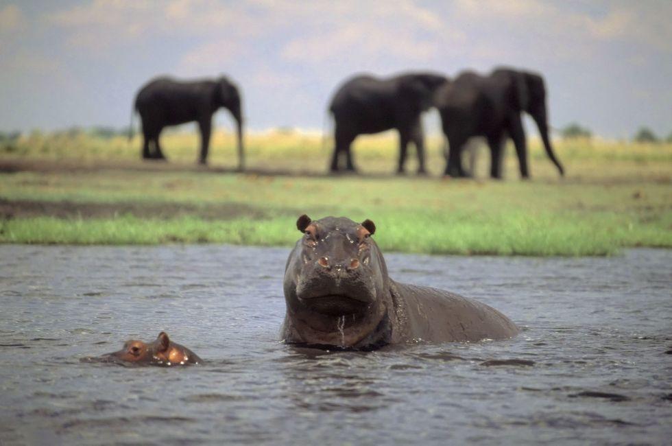 Hippopotamus, Chobe National Park, Chobe, Bostswana
