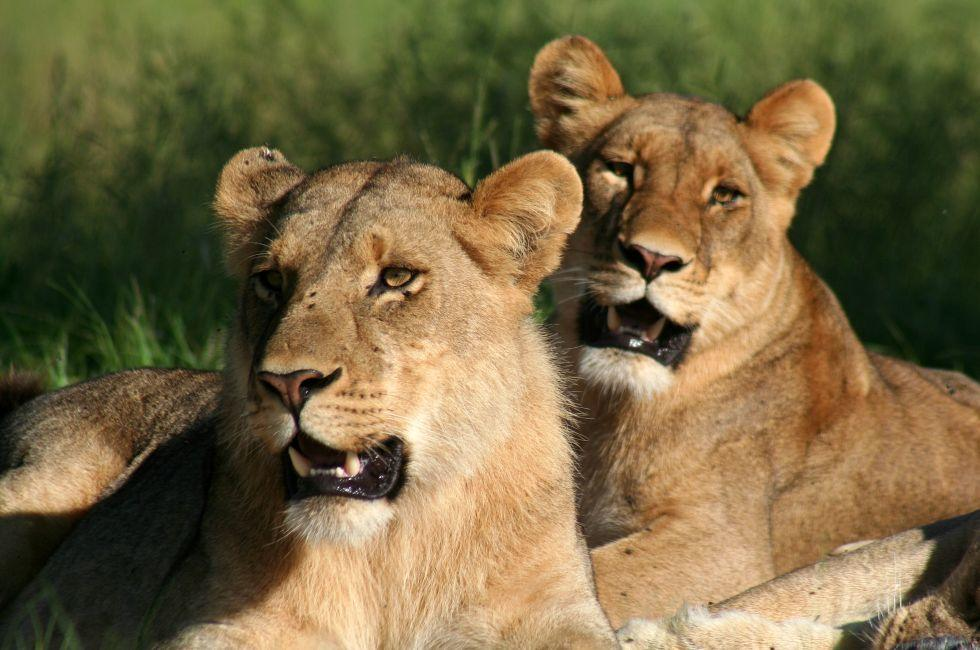 Lionesses, Kwando Reserve, Botswana