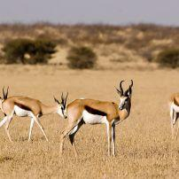 Antelope, Springbok, Central Kalahari Game Reserve, Botswana