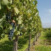 Grapes, Vineyard, Mendoza, Wine Regions, Argentina