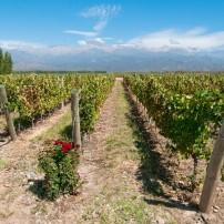 Vineyards, Mendoza, Argentina