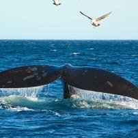 Whale, Puerto Piramides, Peninsula Valdes, Patagonia, Argentina