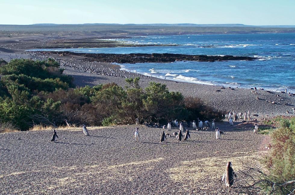 Magellan Penguins, Natural Reserve, Punto-Tombo, Argentina