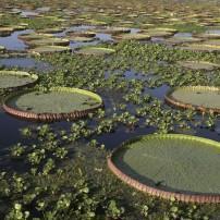 Lily pads, The Amazon, Brazil