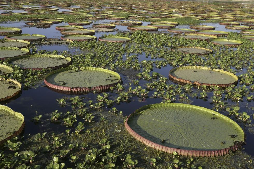 Lily pads, The Amazon, Brazil