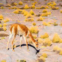 Llama, Atacama Desert, Chile