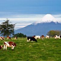 Cows, Osorno Volcano, Lake Region, Chile
