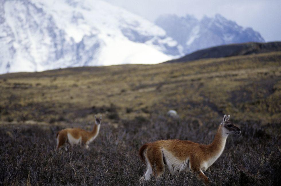 Guanaco, Camelid, Torres Del Paines National Park, Patagonia, Chile, South America