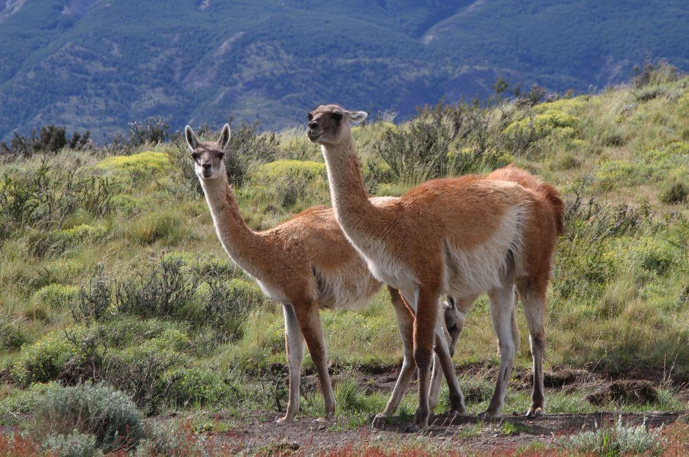 Guanacos, Torres del Paine National Park, Patagonia, Chile