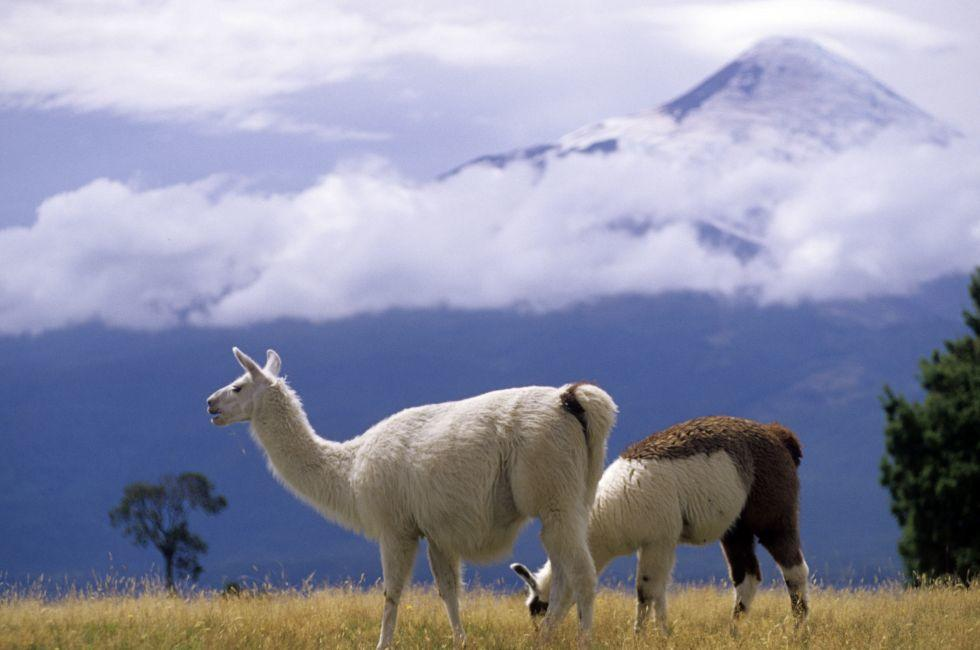 Llamas, Torres del Paine National Park, Patagonia, Chile