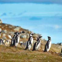 Magellanic Penguins, Magdalena Island, Patagonia, Chile