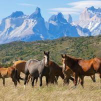 Wild horses, National Park Torres del Paine, Patagonia, Chile
