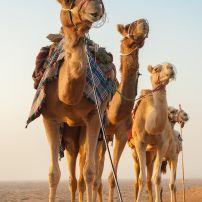 Camel, Caravan, Desert, Dubai, United Arab Emirates