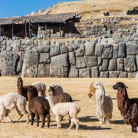 Alpaca, Sacsayhuaman, Peru