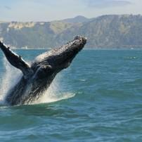 Humpback Whale, Coromandel Penninsula and the Bay of Plenty, New Zealand