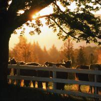Cows, Sunset, East Burke, Northern Vermont, Vermont, USA