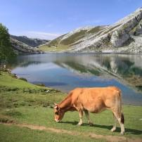 Cow, Lago Enol, Covadonga, Galicia and Asturias, Spain
