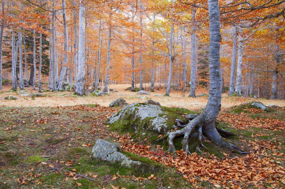 Beech Forest, Vielha, Spain