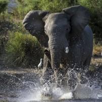 Elephant, Victoria Falls, Zimbabwe
