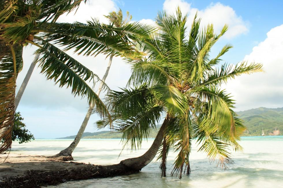 Tree, Beach, Coastline, Tahaa, The Other Islands, French Polynesia, Australia and the Pacific