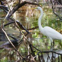 White Heron, Isla Galeta, Colon, Panama