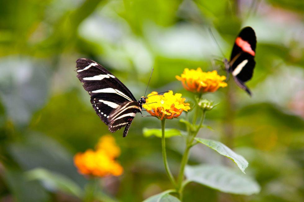 Butterflies, Mainau, The Bodensee, Germany, Europe.
