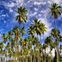 Trees, Coconut Coast, East Side (Coconut Coast) Kauai, Kauai, Hawaii, USA