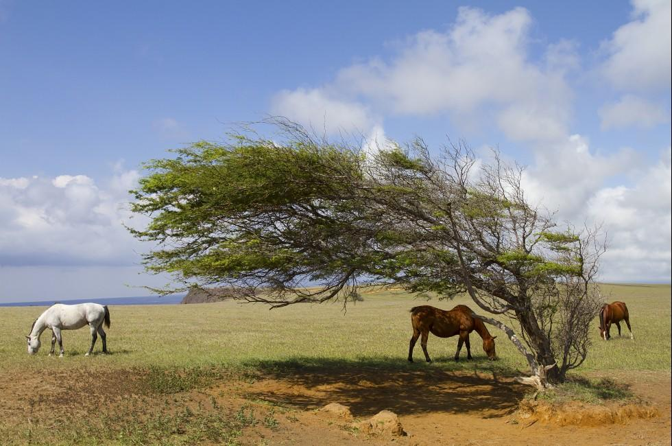 Horses, Ka Lae, Kau, South Point, Big Island, Hawaii, USA
