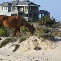 Wild Horses, Beach, Corolla, Outer Banks, North Carolina