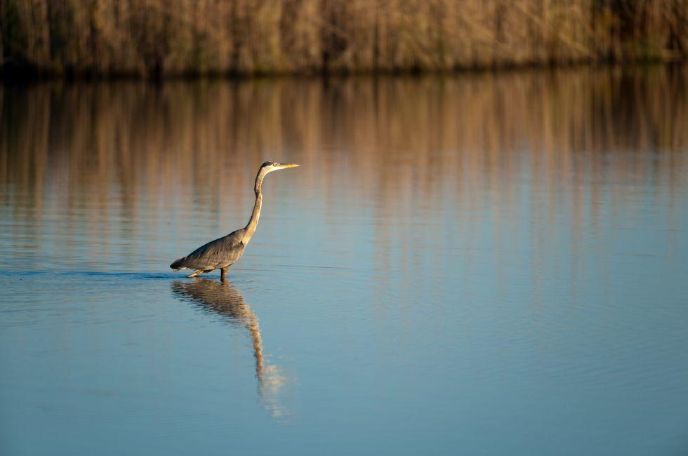 Blue Heron, Blackwater Wildlife Refuge, Maryland
