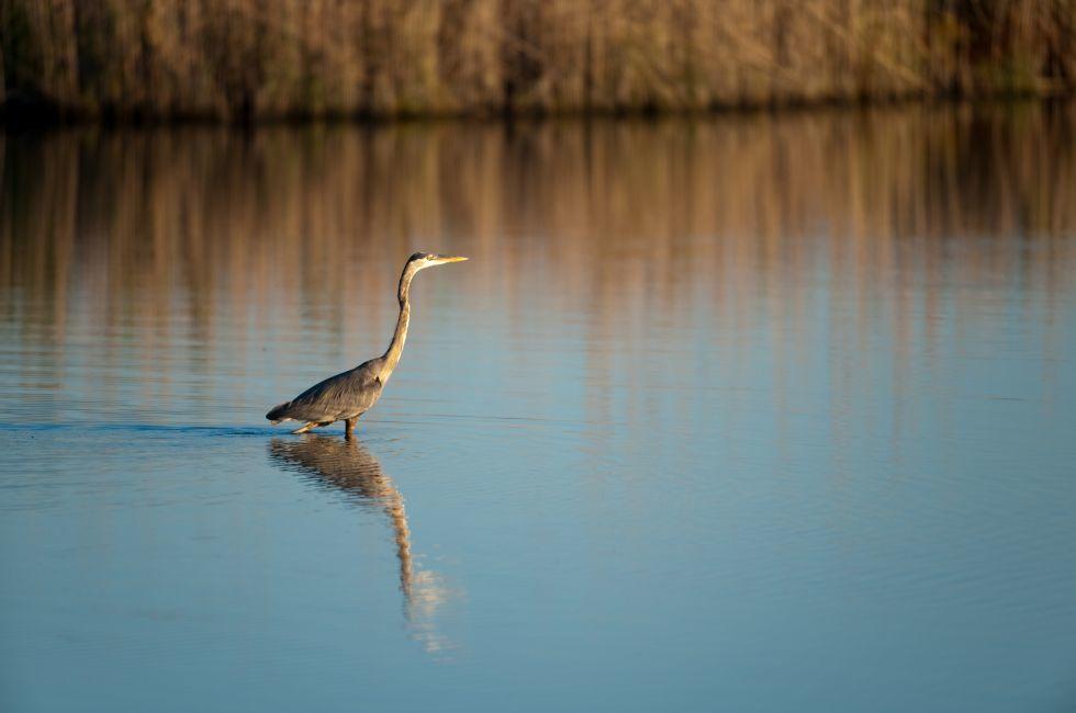 Blue Heron, Blackwater Wildlife Refuge, Maryland