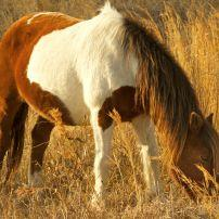 Wild Pony, Horse, Grass, Sand Dunes, Assateague State Park, Berlin, Maryland